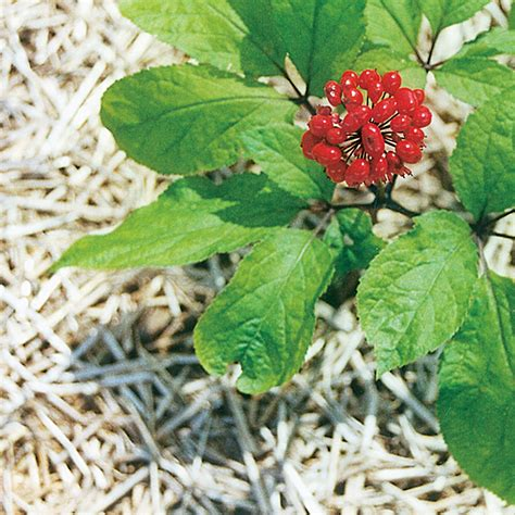 growing ginseng how to grow a ginseng plant garden guides