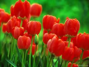 Hd Images Of Flowers Beautiful Hd Red Flowers Roses Hd Wallpapers