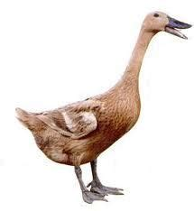 Bibit Bebek Sekarang mengenal bebek hibrida dan bebek hibrida dod