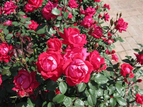 learning how to care for knockout roses in 6 steps sumo
