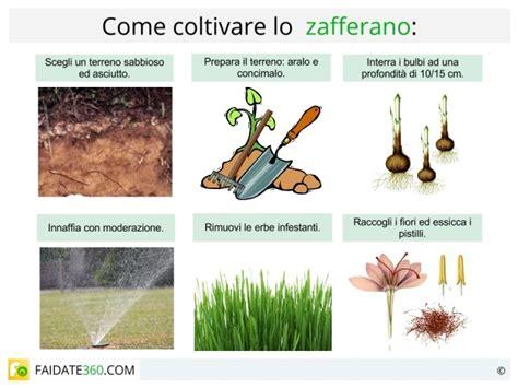 coltivare lo zafferano in vaso coltivazione zafferano come coltivarlo in vaso serra o