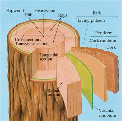 tree cross section diagram doitpoms tlp library the structure and mechanical