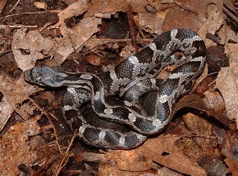 Lepaparazzi News Update Ricci And In Black Snake Moon by Black Rat Snakes Are Out And About South Carolina