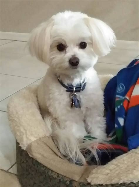 maltipoo haircuts grooming 10 best maggie and bunny images on pinterest pets puppy