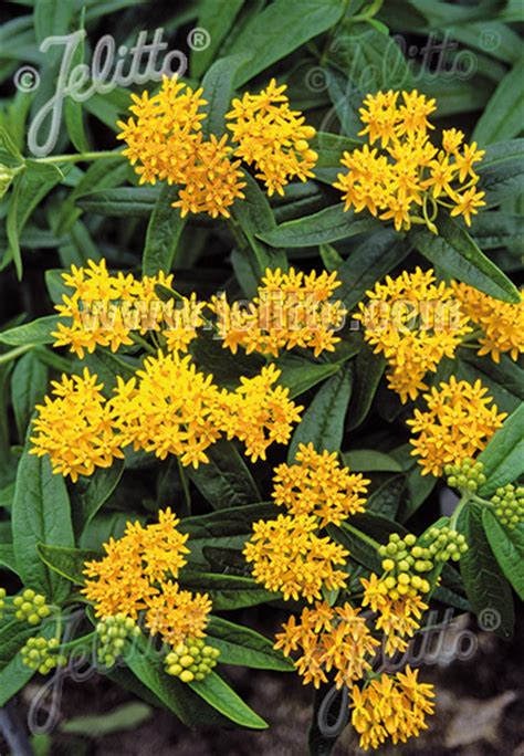Hello Yellow jelitto perennial seed asclepias tuberosa hello yellow