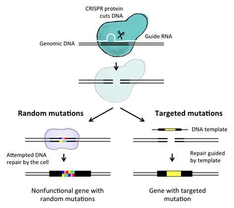 Crispr May Help Neuroscientists Unlock Genetics Of Psychiatric Disease Genetic Literacy Project Crispr Repair Template