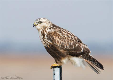 rough legged hawk image gallery rough legged hawk