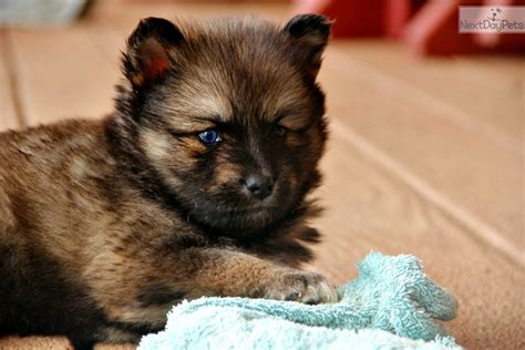 pomsky puppies for sale nj pomsky puppies for sale in kentucky breeds picture