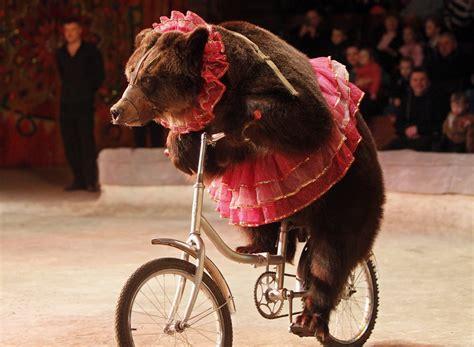 bear on a bike a bear rides a bicycle