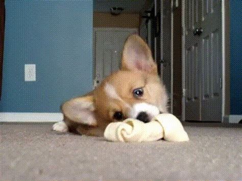 corgi puppy gif cats part 39 cat pictures cat pictures cats breeds picture