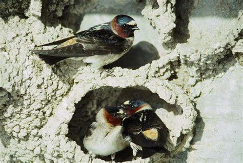 about cliff swallows of nebraska tpcp snr unl