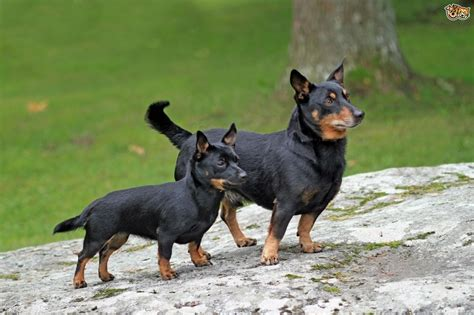 heeler breed lancashire heeler breed information buying advice photos and facts pets4homes
