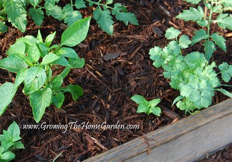 mulch vegetable garden talentneeds