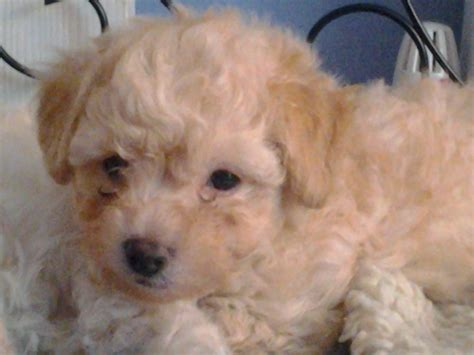 poochon puppies for sale poochon puppies for sale one remains liverpool merseyside pets4homes