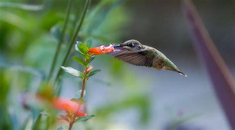 hummingbird the sequel coriolistic anachronisms