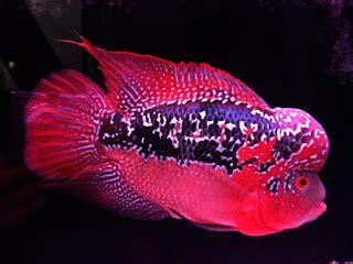 Pakan Ikan Louhan Alami cara berbudidaya hewan dan tanaman herbal