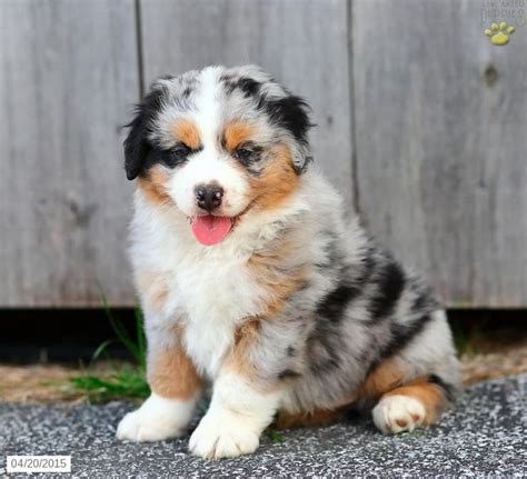 australian shepherd puppies for sale pa 17 best images about australian shepherd on snowflakes mothers and search