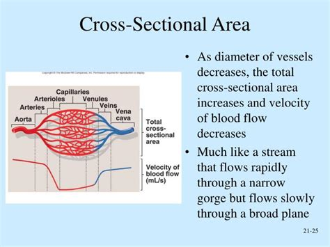 what is cross sectional area of a river ppt peripheral circulation and regulation powerpoint