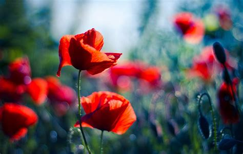 Computer Wallpaper Poppies | poppy wallpapers wallpaper cave