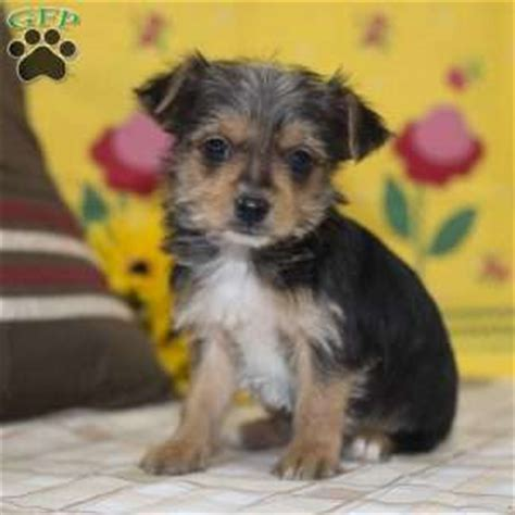 yorkie mix puppies for sale in pa yorkie mix puppies for sale in de md ny nj philly dc and baltimore