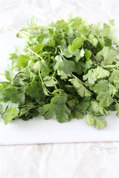 spusht how to store coriander leaves and keep cilantro fresh