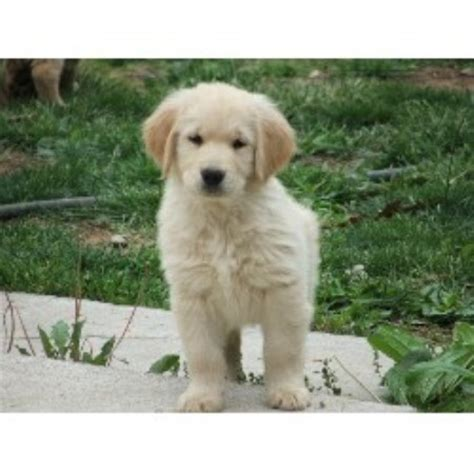golden retriever puppies virginia countryside golden retrievers golden retriever breeder in berkeley springs west