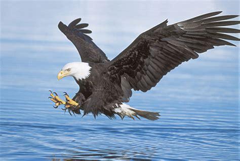 $25,000 reward offered after deaths of 13 bald eagles in