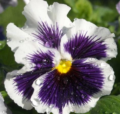 8 Biji Bibit Benih Bunga Carnation White Pink bibit white purple pansy bibitbunga
