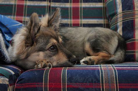 german shepherd yorkie mix corgi german shepherd mix corgi mixes