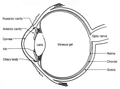 cross section of the human eye anatomy of the eye human eye anatomy owlcation