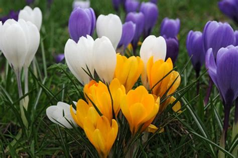 Card Making Flowers - buy large flowering crocus bulbs crocus mixed colours delivery by crocus