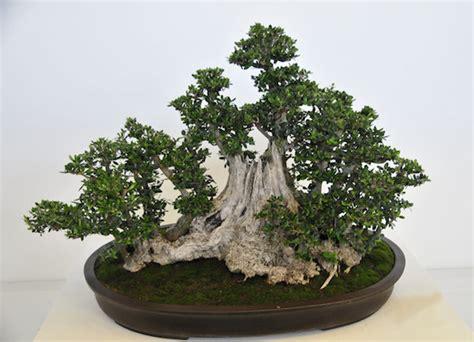 tips mudah menanam  merawat bonsai  pemula