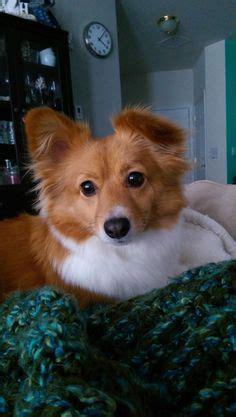 corgi pomeranian 1000 ideas about pomeranian mix on dogs for adoption pomeranian
