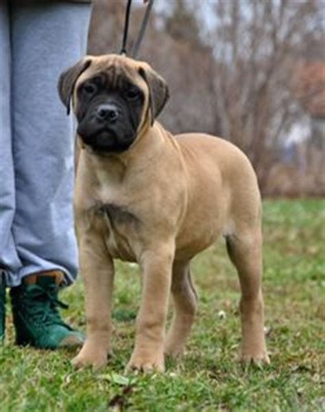 bullmastiff puppies ohio bullmastiff puppy for sale in ohio buckeyepuppies bullmastiffs