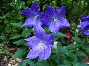 blue balloon flowers sherry s place