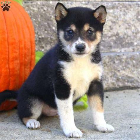 shiba inu puppies price pumpkin shiba inu puppy for sale in pennsylvania