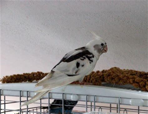 pappagallo calopsite alimentazione calopsitta nymphicus hollandicus pappagalli bologna