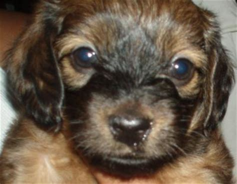 mauxie puppy puppy the runt of litter breeds picture