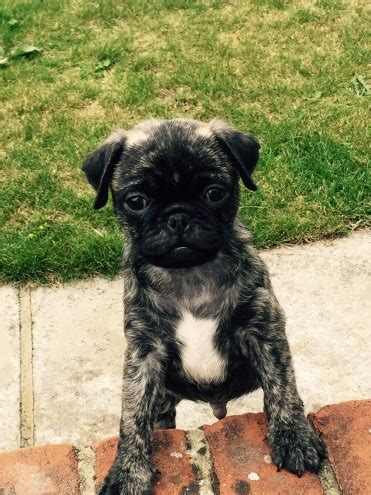 brindle pug for sale uk stunning brindle pug puppy boy sudbury suffolk pets4homes
