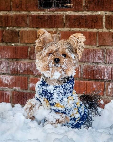 yorkies in the snow 1157 best images about yorkies on terrier yorkie and