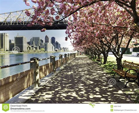7 cherry tree saratoga springs ny city view with cherry blossoms new york stock photo image 40817940