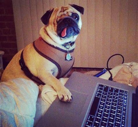 pug computer pirate pug the cutest pug on instagram