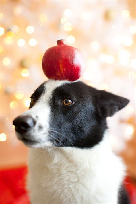 can dogs pomegranate pomegranate a house in the