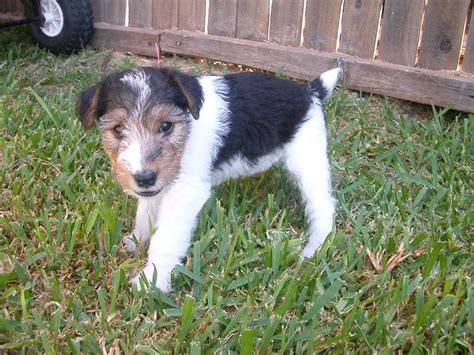wire fox terrier puppies breeders wire fox terrier