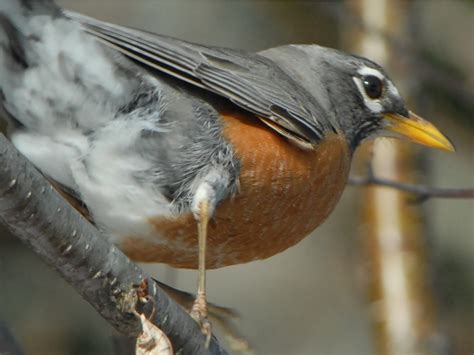 a day in the life of a migrating american robin