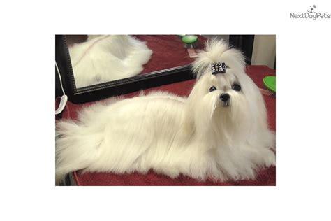 puppies for sale wilmington nc purebred maltese in carolina black white