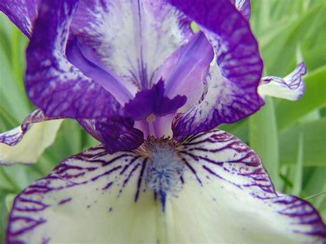 the iris center center of the iris photograph by kathryn pinkham