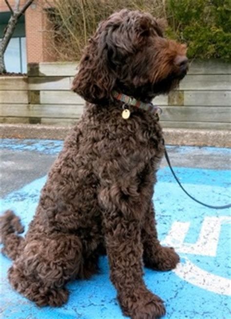 mini goldendoodles scotia retired breeders pawsitively pets