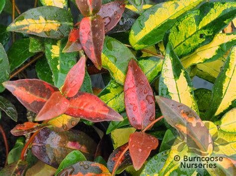summer sunset asiatic jasmine trachelospermum asiaticum from burncoose nurseries