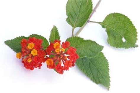 is lantana poisonous to dogs poisonous plants